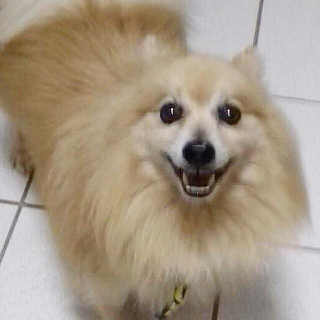 Paciente Tobby Spitz 13 anos - cliente Ana - AN - Animal natural