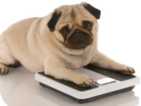 Obesidade canina e a saúde dos cães