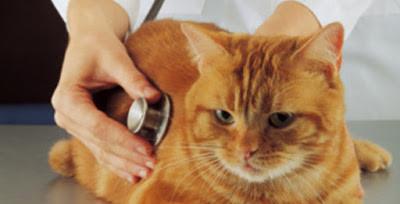Quais os problemas que a glicação avançada pode causar nos felinos.