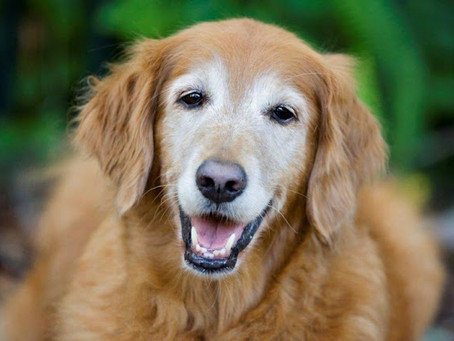 Você sabe como oferecer alimentação natural para seu cão idoso?