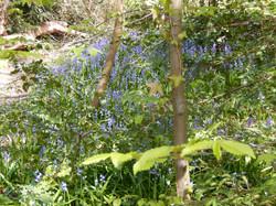 Belane bluebells