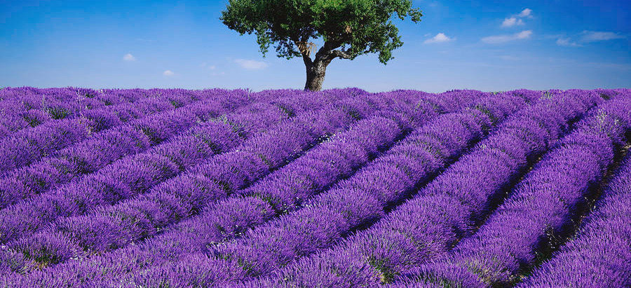 Be Like A Lavender