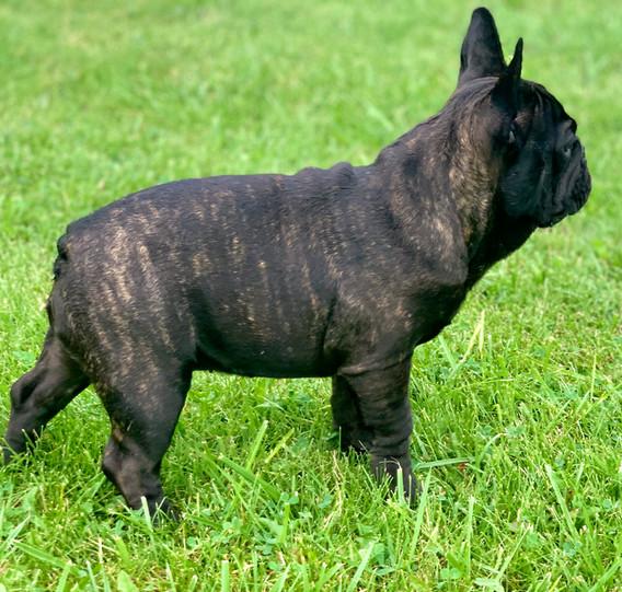French bulldog breeder canada