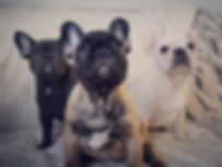 French bulldog breeder Ontario