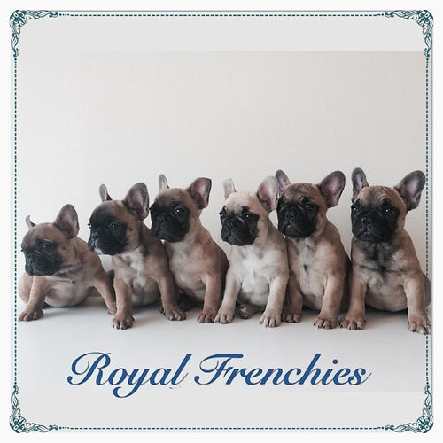 Royal Frenchies french bulldog breeder ontario