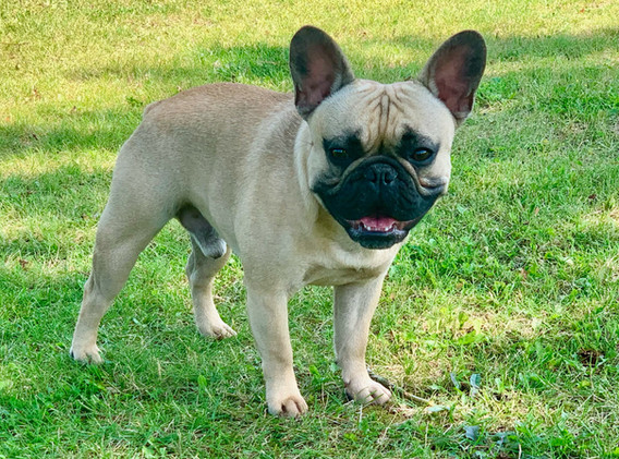 Fawn Stud Frenchie