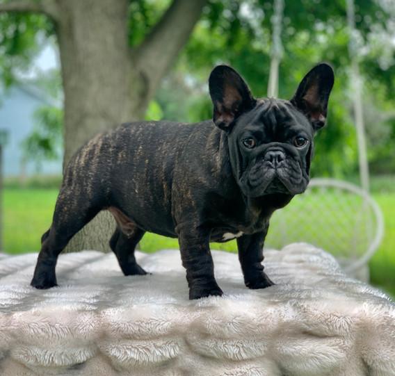 French bulldog breeder canad