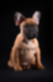 French bulldog puppies ontario