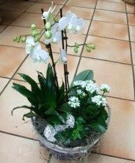 assemblage plante avec phaleno