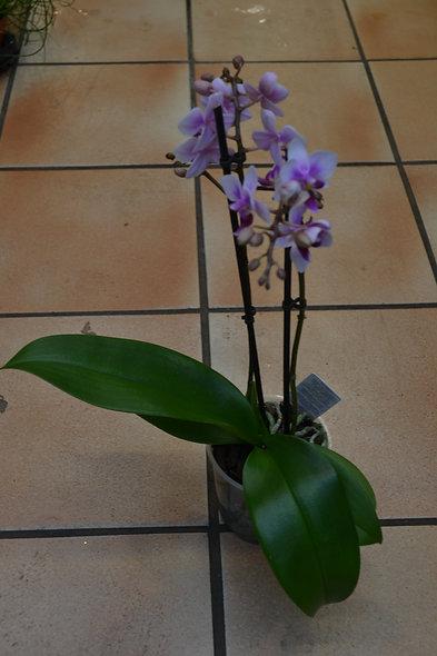 Phaleno violet