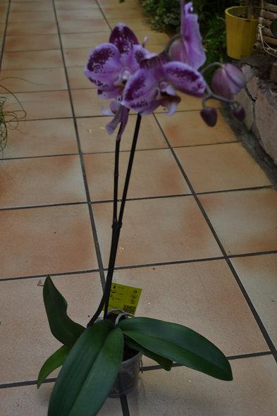 phaleno moucheté violet