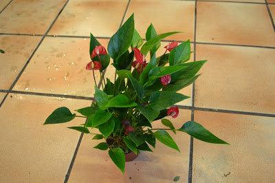 Anthurium à petites fleurs