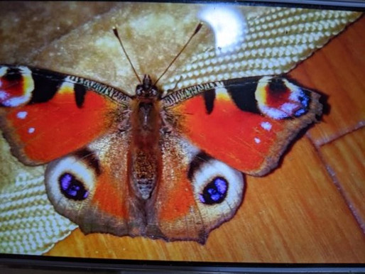 極楽蝶と私