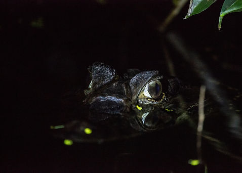 Night walks and baby caimans near the rivers