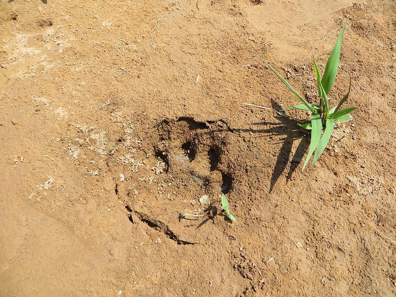 Giant feline footprint Pampas