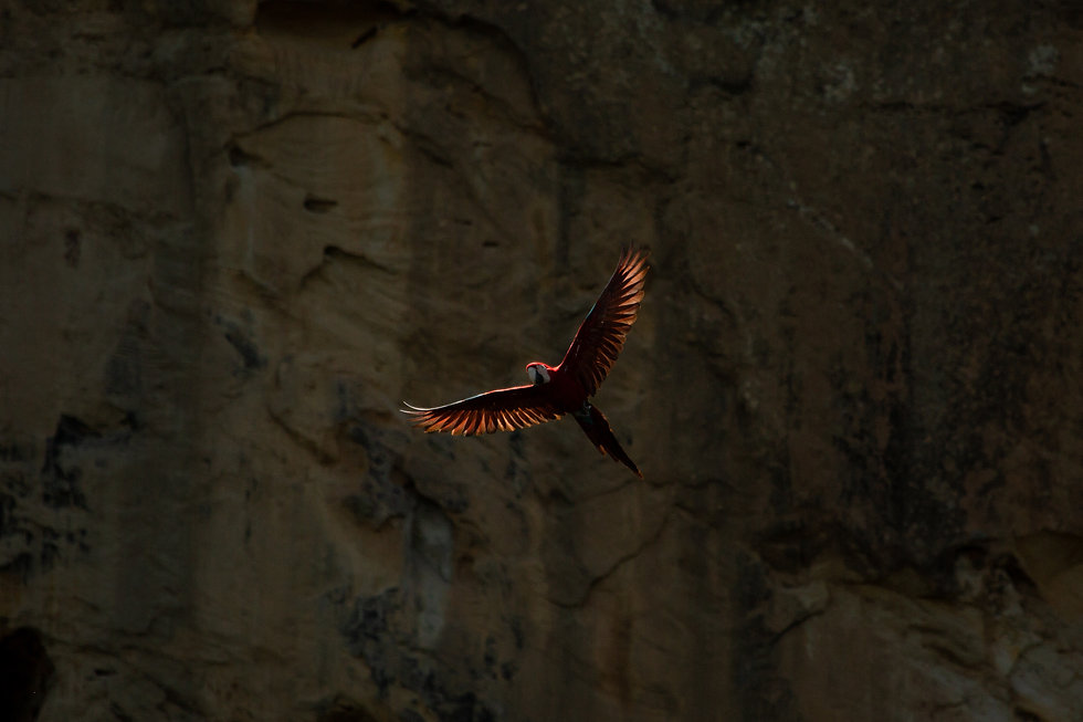 Red macaw flying free in Madidi National Park