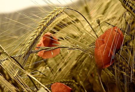 poppy-3277871_1920.jpg