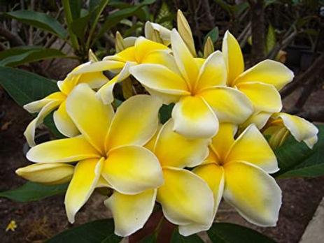 Celadine Plumeria.jpg