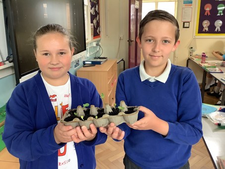 Year 5 sunflower growing competition