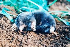Mole1.jpg