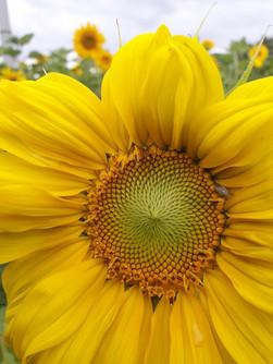 Sommersonnenblumen mit Besuch