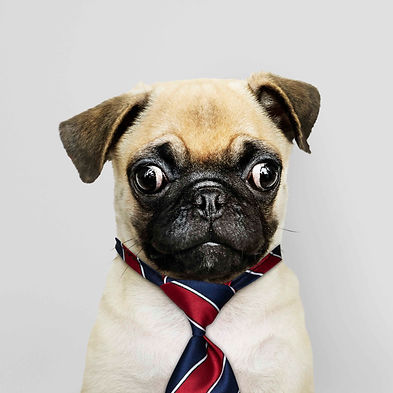 business-pug-puppy-wearing-tie_small fil