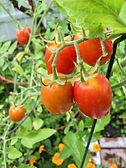 Tomatoes on vine3.jpg