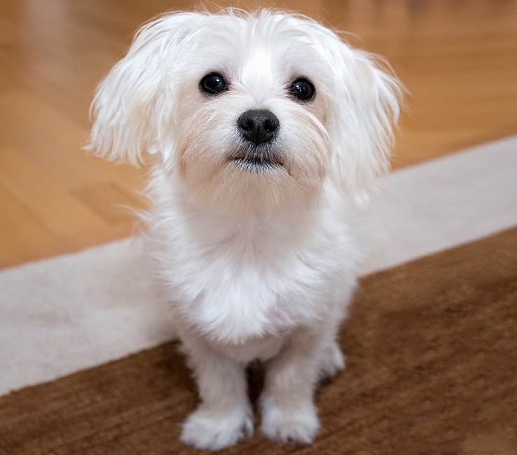Image of a Maltese Terrier