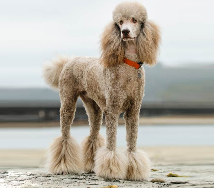 Image of a Poodle