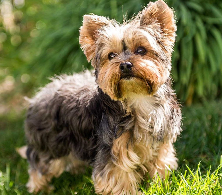 Image of a Yorshire Terrier
