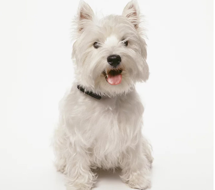 Image of a West Highland Terrier