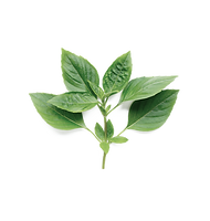 hojas-dulces-albahaca-blanco_51524-3447_