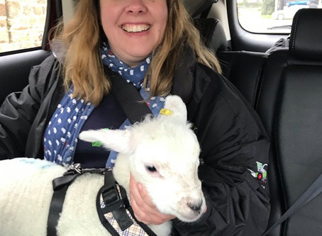 Mabel the (enormous) pet lamb and the McDonald's drive through.