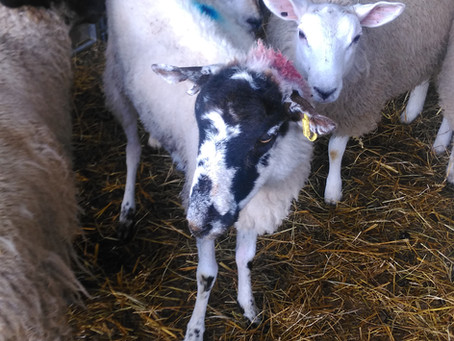 Scabby Sheep's Second Chance