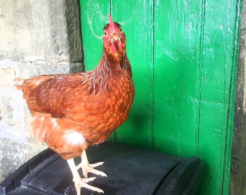Marjorie chicken.jpg