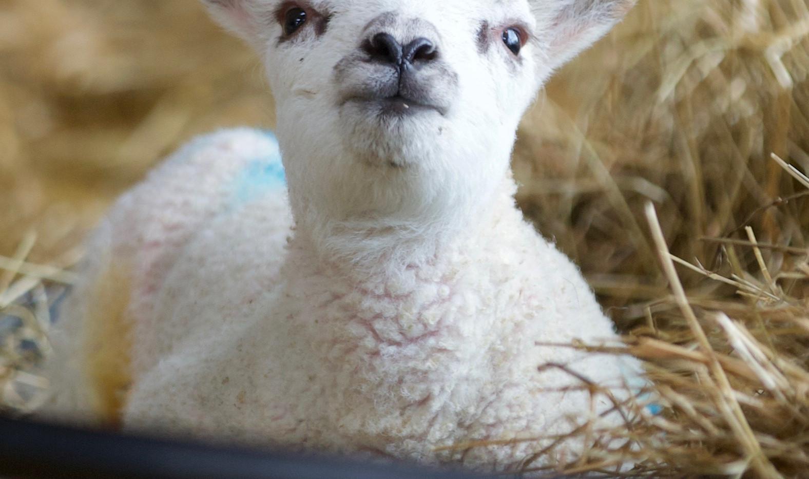 Single lamb.jpg