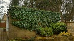 Ivy cutting