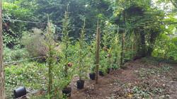 Pyracatha Hedge