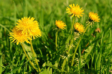 Yellow dandelion flowers with leaves in