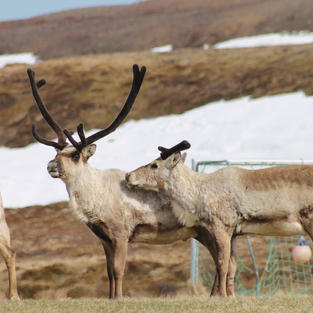 Reindeers taking over the football field
