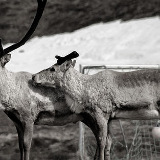Reindeers in the backyard of the gueshouse