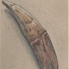 Tyranosaur Tooth