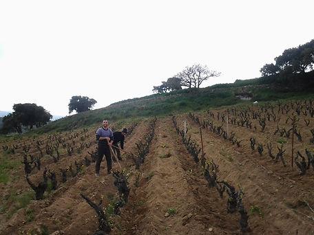 Cannonau vineyards in Mamoiada and Orgosolo, Cannonau di Sardegna, Sardinian wines, pruning vine, life in Sardinia, centenarians wine and food, healthy life