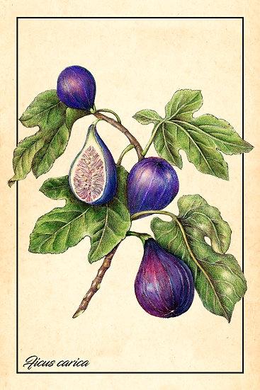 Fig Watercolor Print, Fruit Botanical Wall Decor, Fig Poster Digital Download