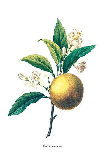 Orange Fruit Tree Botanical Print, Farmhouse Kitchen Decor Digital Download