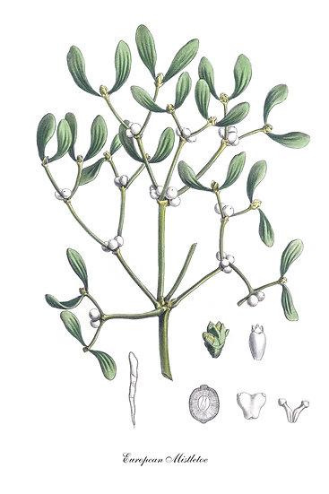 Mistletoe Botanical Print, Farmhouse Kitchen, Mistletoe Poster Digital Download