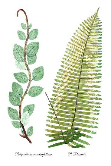 Fern Printable, Fern Botanical Print, Fern Wall Decor Digital Download