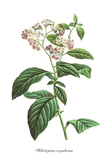 Heliotropium Botanical Poster, Heliotropium Print Digital Download