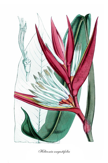 Heliconia Wall Art, Botanical Illustration, Heliconia Poster Digital Download
