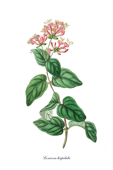 Honeysuckle Botanical Print, Floral Wall Art,Honeysuckle Digital Download
